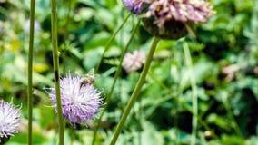 Abeja de la miel en un cierre de la flor encima de la fotografía Imagen de archivo