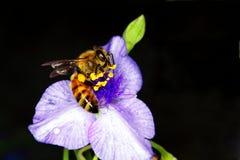 Abeja de la miel en un dayflower Fotografía de archivo