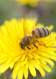 Abeja de la miel en un diente de león Imagen de archivo libre de regalías