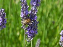 Abeja de la miel en un flor de la lavanda Imagen de archivo libre de regalías