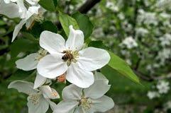 Abeja de la miel en un flor de la manzana Fotografía de archivo libre de regalías