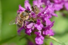 Abeja de la miel en un flor púrpura Fotografía de archivo