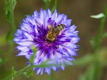 Abeja de la miel en un fower azul Foto de archivo libre de regalías