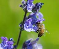 Abeja de la miel en un geranio Imagen de archivo