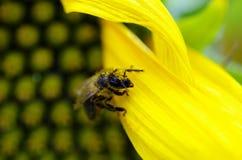 Abeja de la miel en un girasol Fotografía de archivo
