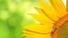 Abeja de la miel en un girasol Imagen de archivo libre de regalías