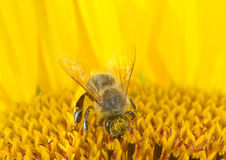 Abeja de la miel en un girasol Foto de archivo