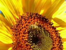Abeja de la miel en un girasol Fotos de archivo libres de regalías