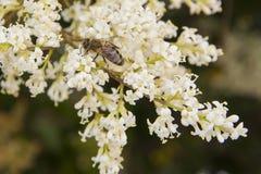 Abeja de la miel en un jardín Imágenes de archivo libres de regalías
