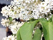 Abeja de la miel en un primer blanco de la lila Fotografía de archivo libre de regalías