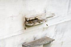 Abeja de la miel en un primer de la colmena en una granja Fotografía de archivo