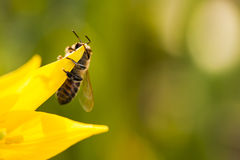 Abeja de la miel en un tulipán salvaje amarillo Fotos de archivo