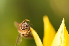 Abeja de la miel en un tulipán salvaje amarillo Fotografía de archivo libre de regalías
