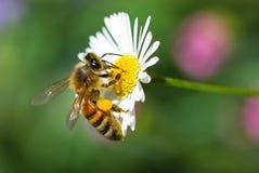 Abeja de la miel en una flor Imágenes de archivo libres de regalías