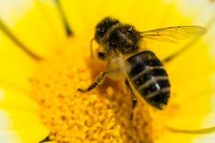 Abeja de la miel en una flor Fotos de archivo