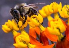 Abeja de la miel en una flor amarilla Foto de archivo libre de regalías