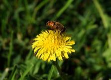 Abeja de la miel en una flor amarilla del diente de león Imagen de archivo