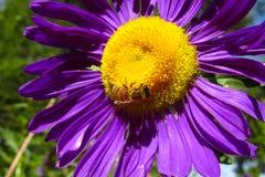 Abeja de la miel en una flor amarillo-púrpura hermosa Imágenes de archivo libres de regalías