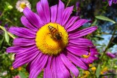 Abeja de la miel en una flor amarillo-púrpura hermosa Foto de archivo libre de regalías