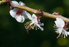 Abeja de la miel en una flor blanca Imagen de archivo