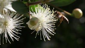 Abeja de la miel en una flor blanca metrajes