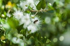 Abeja de la miel en una flor blanca Imágenes de archivo libres de regalías