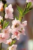 Abeja de la miel en una flor de la flor de cerezo Imagen de archivo libre de regalías