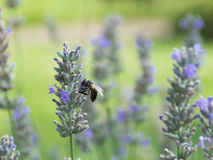 Abeja de la miel en una flor de la lavanda Fotos de archivo libres de regalías