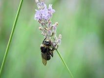 Abeja de la miel en una flor de la lavanda Fotografía de archivo