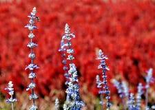 Abeja de la miel en una flor de la lavanda con el fondo rojo de campo de flor Fotografía de archivo