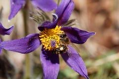 Abeja de la miel en una flor de pasque Imagen de archivo libre de regalías