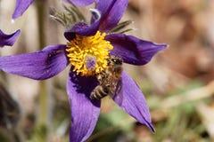 Abeja de la miel en una flor de pasque Fotos de archivo