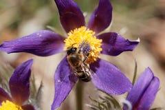 Abeja de la miel en una flor de pasque Imagenes de archivo