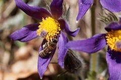 Abeja de la miel en una flor de pasque Imagen de archivo