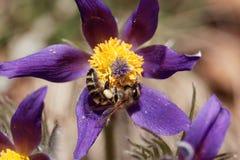 Abeja de la miel en una flor de pasque Foto de archivo