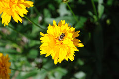 Abeja de la miel en una flor del Coreopsis Imágenes de archivo libres de regalías