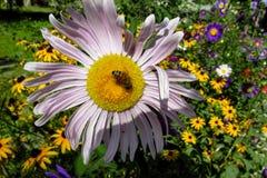 Abeja de la miel en una flor hermosa Foto de archivo libre de regalías