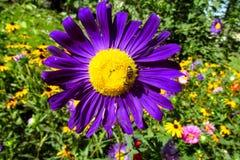 Abeja de la miel en una flor hermosa Imágenes de archivo libres de regalías