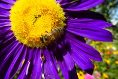 Abeja de la miel en una flor hermosa Fotografía de archivo libre de regalías