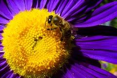 Abeja de la miel en una flor hermosa Foto de archivo