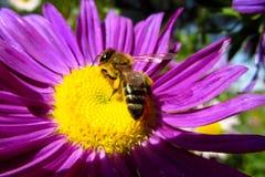 Abeja de la miel en una flor hermosa en día soleado del verano Foto de archivo