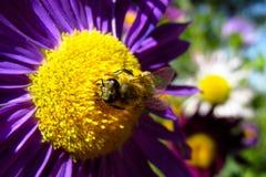 Abeja de la miel en una flor hermosa en día soleado del verano Imagen de archivo libre de regalías