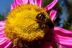 Abeja de la miel en una flor hermosa en día soleado del verano Imágenes de archivo libres de regalías
