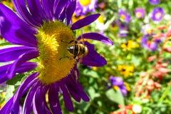 Abeja de la miel en una flor hermosa en verano Fotos de archivo libres de regalías