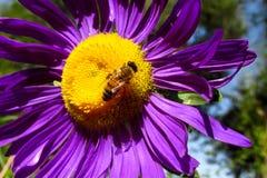 Abeja de la miel en una flor hermosa en verano Fotografía de archivo