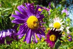 Abeja de la miel en una flor hermosa en verano Fotografía de archivo libre de regalías