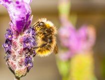 Abeja de la miel en una flor de la lavanda Fotografía de archivo libre de regalías