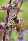 Abeja de la miel en una flor púrpura Imágenes de archivo libres de regalías