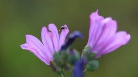 Abeja de la miel en una flor púrpura metrajes