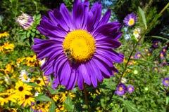 Abeja de la miel en una flor púrpura hermosa Imagen de archivo